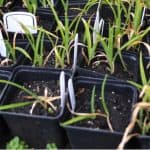 Growing daylilies from seed is an exciting way to grow daylilies and you get a different hybrid each time. Learn how to cross-pollinate, collect and sow seed.
