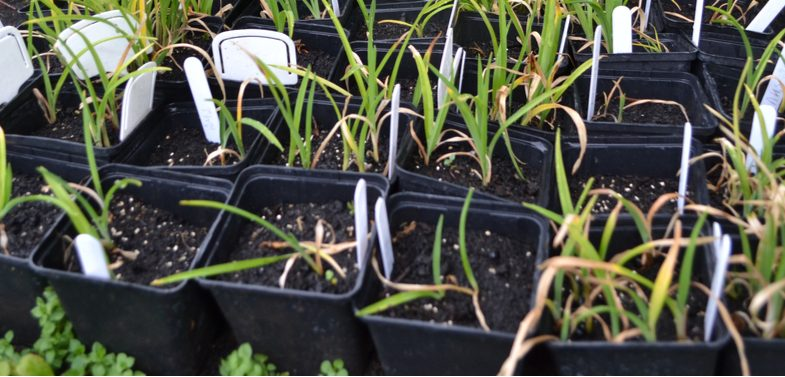 Propagating and growing daylilies from seed