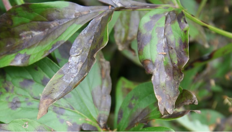 If the leaves on your peony are starting to wilt and the buds are failing to open the likely cause if peony wilt. Learn how to treat and help prevent this disease.