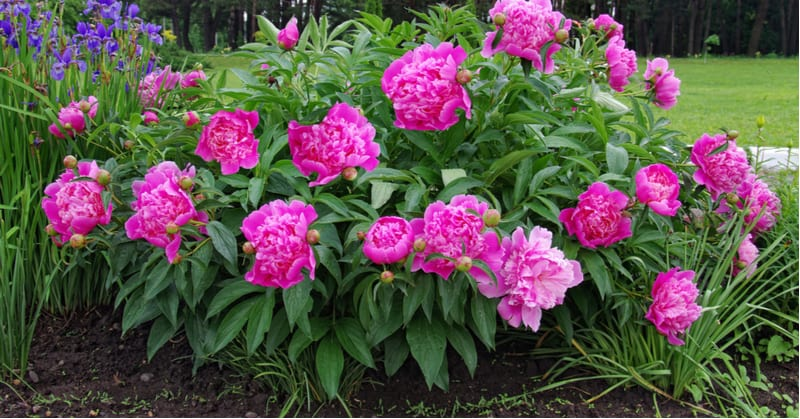 One common issue with peonies is failing to flower. In this guide, we look at 10 reasons your peony is not flowering from environmental reasons to diseases