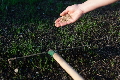 sowing grass seed on shady lawn before raking in