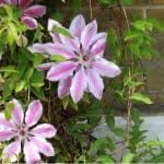 North facing walls are somewhat shady and can be difficult to grow clematis up but there are a few clematises that will thrive on a north-facing wall
