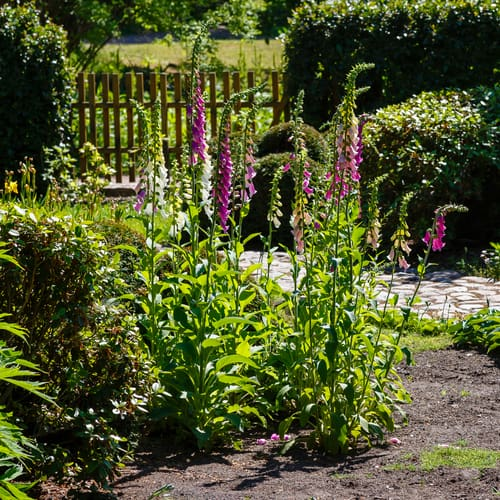 Caring for foxgloves