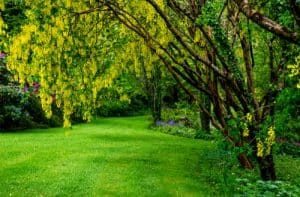 Growing Laburnum trees