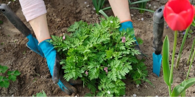 Growing and planting dicentra (Bleeding hearts)