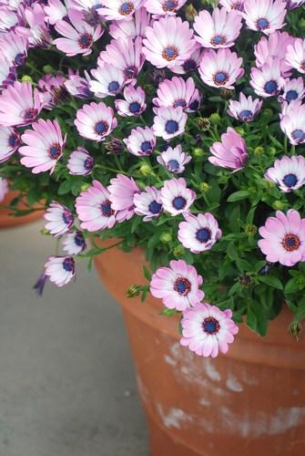 Growing osteospermum in pots