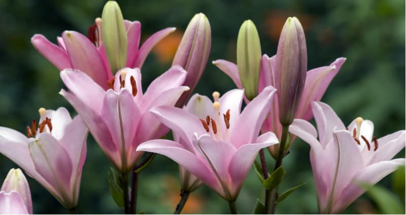 How to deadhead lily plants