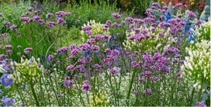 Verbena is a tall-growing perennial that is fairly easy to grow from seed and thrives in full sun or partial shade. Learn how to grow Verbena bonariensis