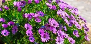 Osteospermum is commonly known as African daisies and is fairly easy to grow and care for if you follow a few important steps. learn how to grow osteospermums.
