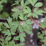 Dicentra known as bleeding hearts will grow successfully in large pots in moisture retentive compost mixed with grit. Learn how to grow dicentra in pots now