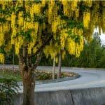 How to grow laburnum trees