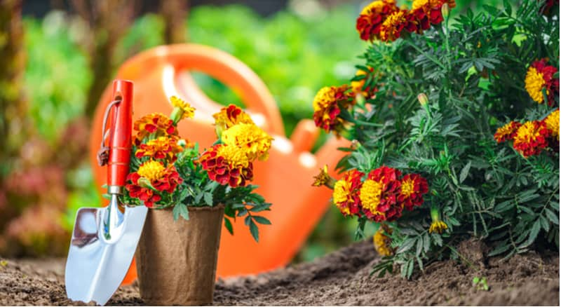How to grow bedding plants from seed such as lobelia, marigolds, petunias and begonias