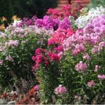 Phlox is a stunning perennial with a long flowering period from July to September which both upright and creeping varieties. learn how to plant and grow phlox