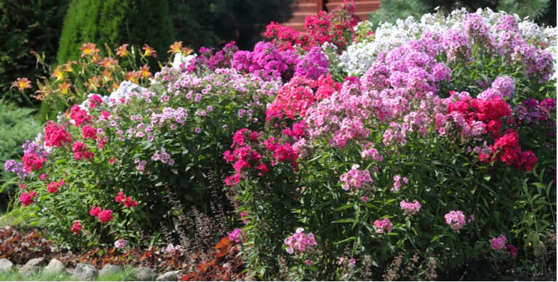 How to plant and grow garden phlox