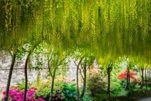 Laburnum tree used to create and arch