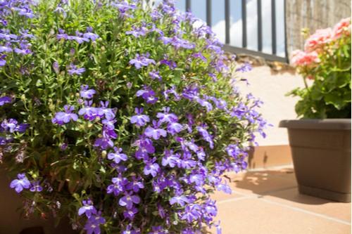Lobelia growing in container in garden