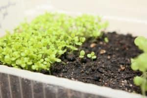 Lobelia in seed tray