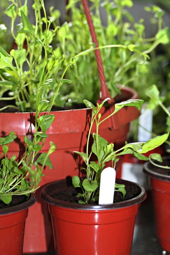 Lobelia potted into pots and hanging basket