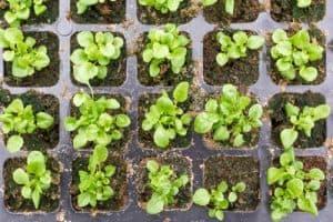 Lobelia seedling growing in module seed tray