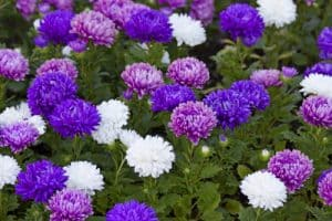 Mixed asters