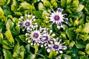 Osteospermum Margarita White Spoon