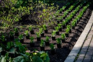 Osteospermum being planted in rows