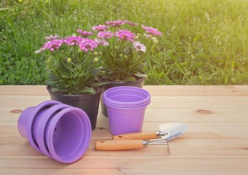 Osteospermum in pots ready to plant