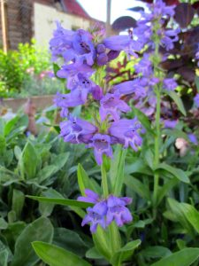Penstemon growing in border
