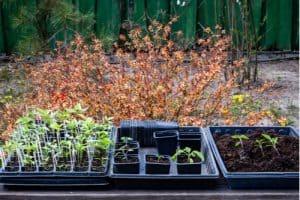 Transplanting summer bedding into larger pots