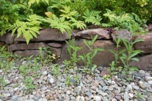 Verbena bonariensis self seeded