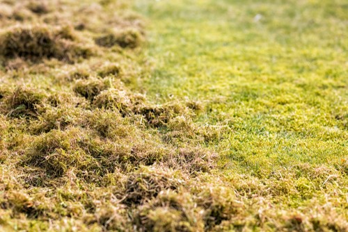 Thatch and moss removed from lawn with scarifier