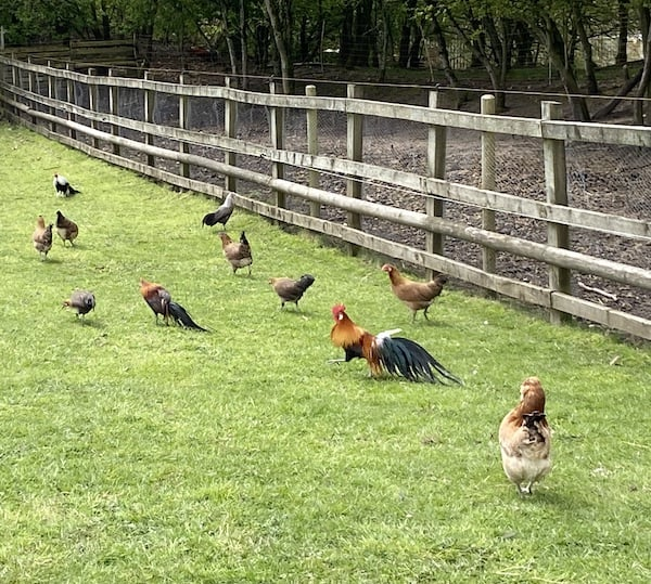 Some of our chicken in paddock, wood next to it is why we use a timer and not light sensor as MR FOX is usually still around early light