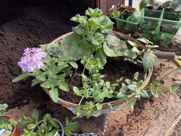 Summer hanging basket now fully planted
