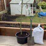 How to plant a Laburnum tree step by step
