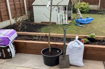 How to plant a Laburnum tree step by step