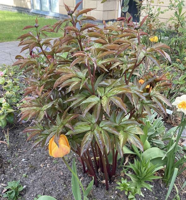 Peony thats has be left to long to insert a peopny support