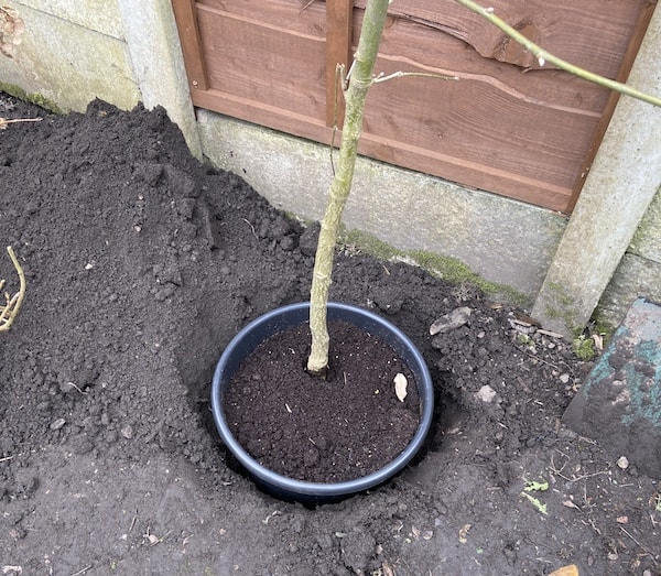 Planting Laburnum tree step 1 - dig hole larger than the pot and the same depth.