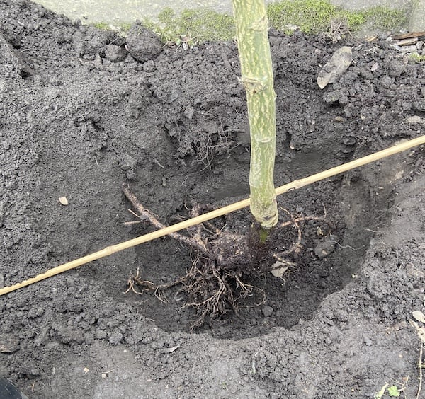 Planting a Laburnum trees - place roots in hole and use cane to get level