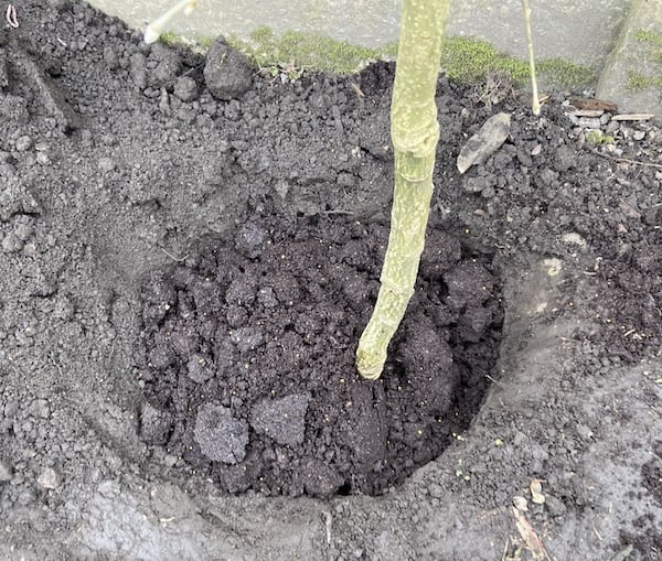 Planting a tree - backfill the hole with quality compost and soil