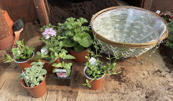 plants which i use to make a summer hanging basket