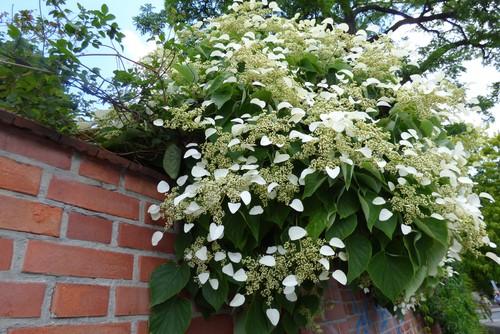 Climbing hydrangea also known as hydrangea petiolaris