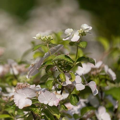 Hydrangea Runaway Bride flowers just starting to open
