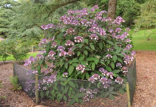 Hydrangea Aspera also known as rough leaf hydrangea