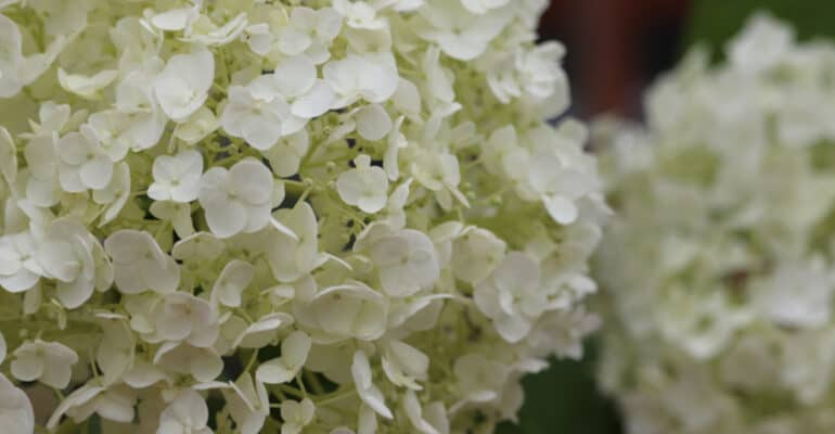 Growing Hydrangea Runaway Bride and care guide. A fantastic plant for patios, borders and even hanging baskets. Learn more about this stunning hydrangea now.