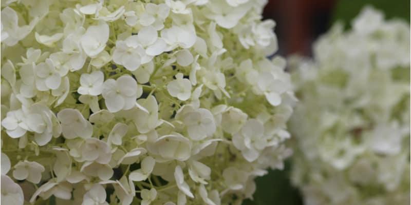 Growing Hydrangea Runaway Bride & Care Guide