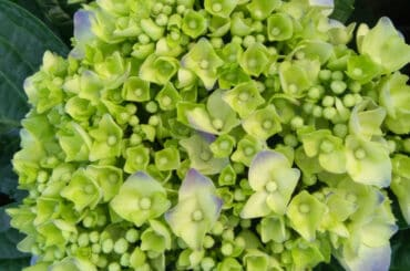 Hydrangea flowers turning green and why it happens