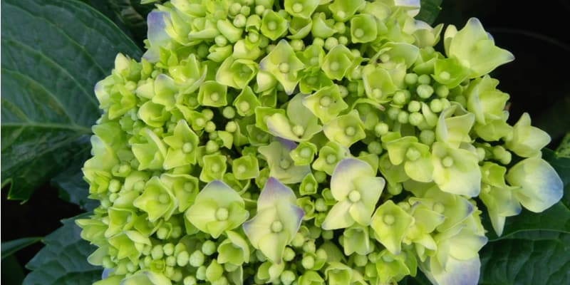 Why are my hydrangea flowers green?
