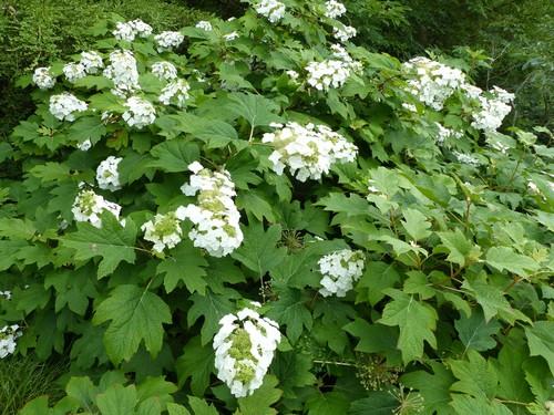 Hydrangea quercifolia 'Sike's Dwarf' (Oak leaf hydrangea)