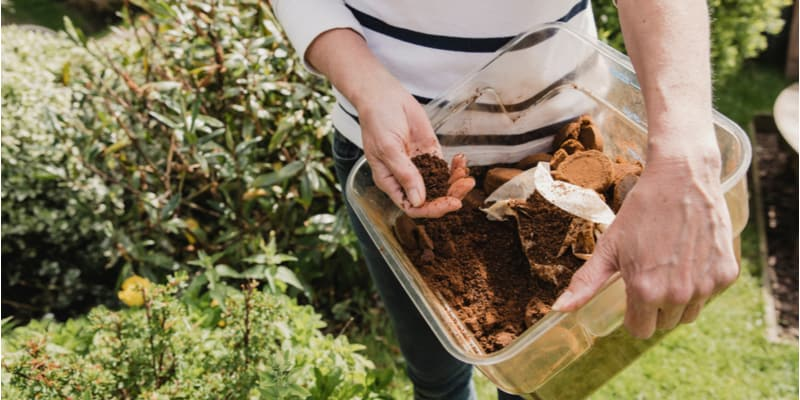 Should you use Coffee Grounds for Hydrangeas?