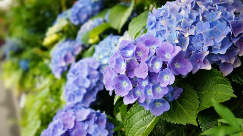 Using coffee grounds to keep the soil more acid and produce blue hydrangea flowers